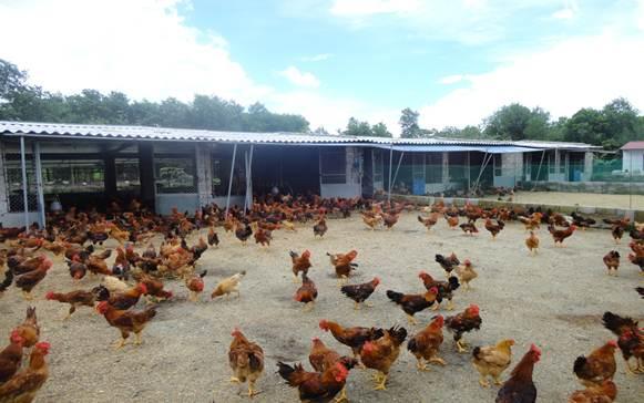 Chuồng chăn nuôi gà