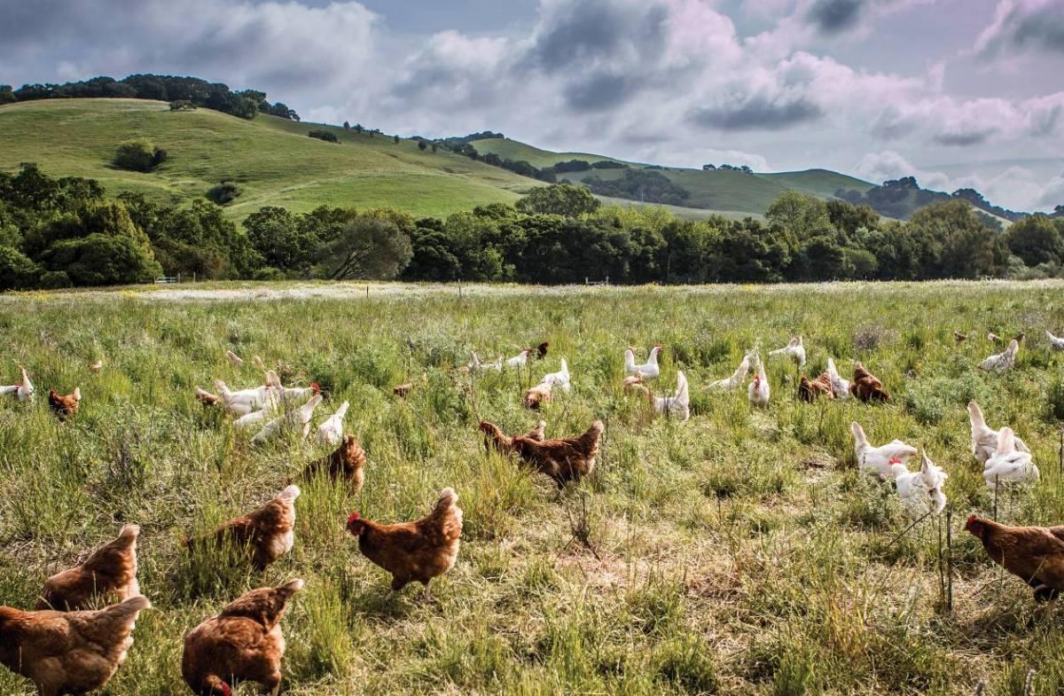 Từ 20 con gà thả đồi, ông Tây thu nhập hơn 2.200 tỷ/năm