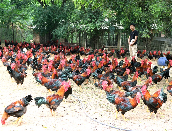 DABACO AND THE JOURNEY OF UPGRADING VIETNAM'S BROWN CHICKEN BREEDS.