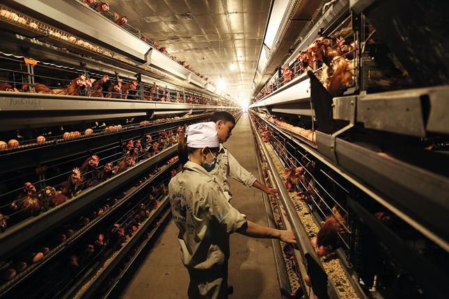Dabaco: Những miếng ghép mô hình chăn nuôi quy mô lớn