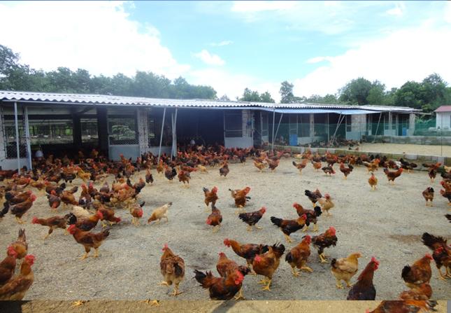 Kỹ thuật chăn nuôi gà Lông Màu DABACO