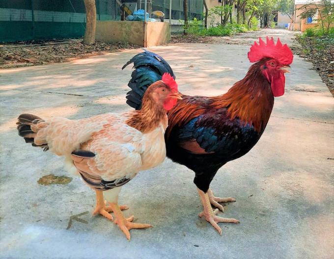 Mía số 1-Dabaco và sự trỗi dậy của giống gà thuần Việt